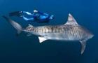 """科普:海洋頂級獵手虎鯊其實很""""懶"""""""