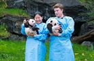 """比利時出生的大熊貓雙胞胎取名""""寶弟""""""""寶妹"""""""