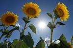 美如畫卷!德國向日葵花海綻放