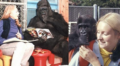 大猩猩與訓練員相處40年 學會數千個英語單詞